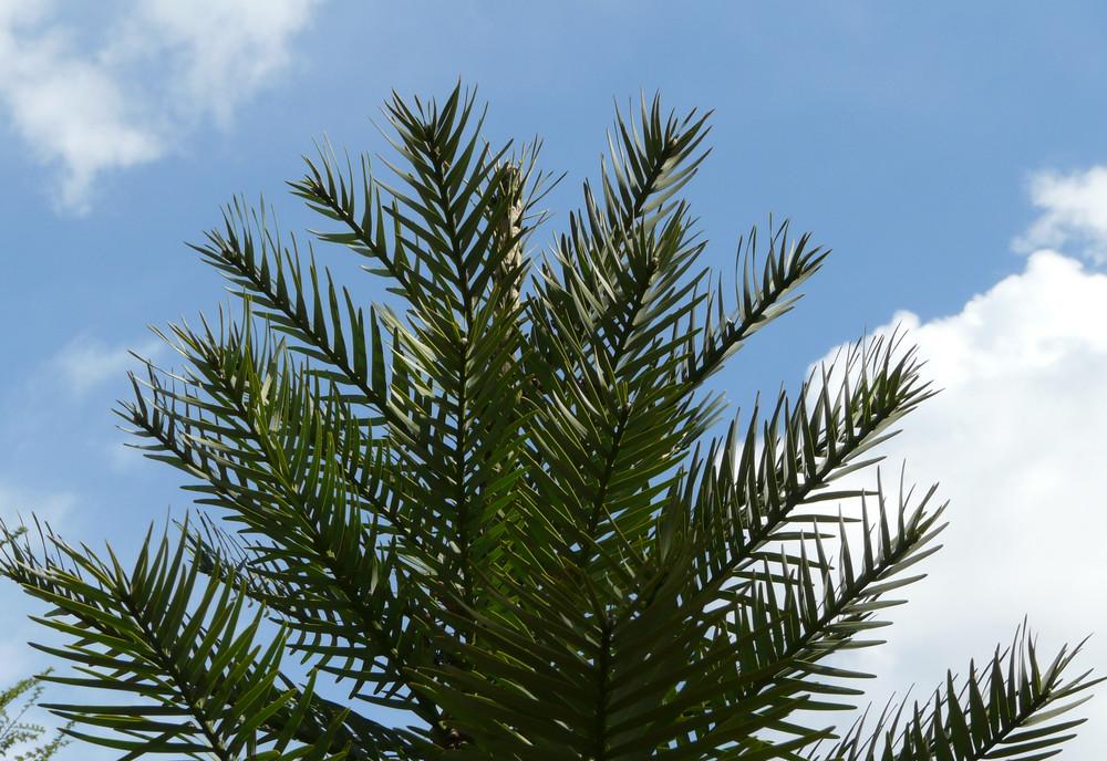 """Bild 1: Die älteste Pflanze der Welt """" Wollemia nobilis"""" ..."""