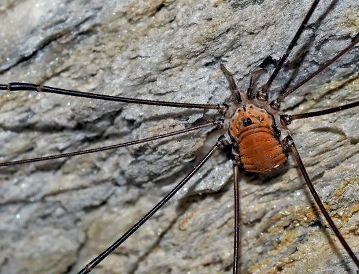 Bild 1: Weberknecht: Ziegelrückenkanker (Leiobunum limbatum) - L'Opilion, une araignée ...