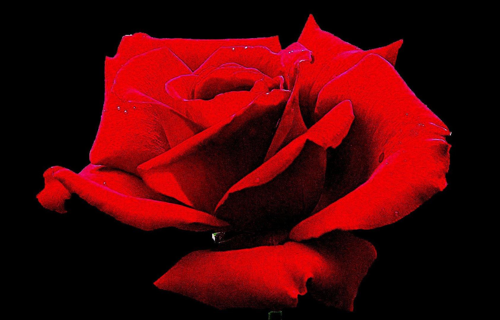 Bild 2: Bearbeitete Rosenblüte aus Uschis Garten.