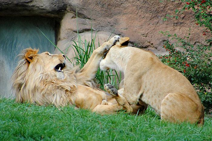 Bild 4 - Löwenspiele