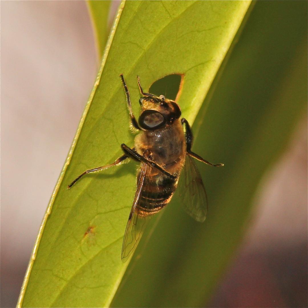 Bild 5 der Putzorgie bei der Mistbiene Eristalis tenax - die Flügel