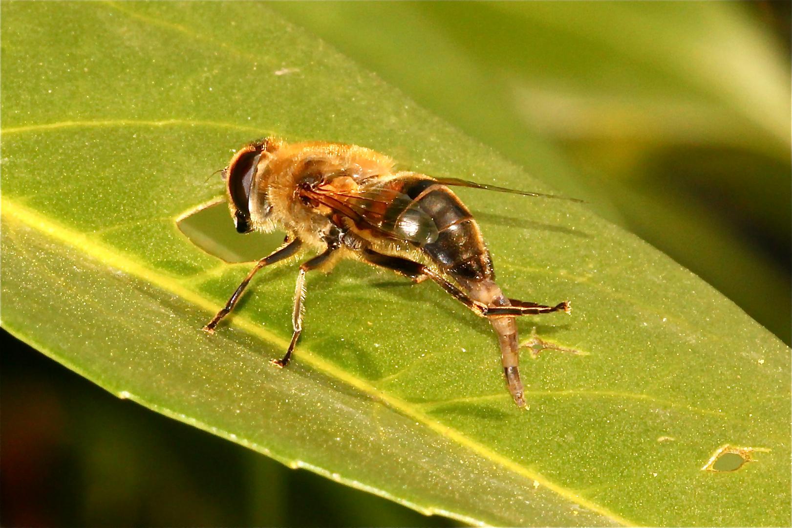 Bild 7 und damit letztes der Mistbienen-Putzserie (Eristalis tenax)