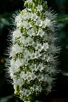 Bildfüllende Blütenfülle