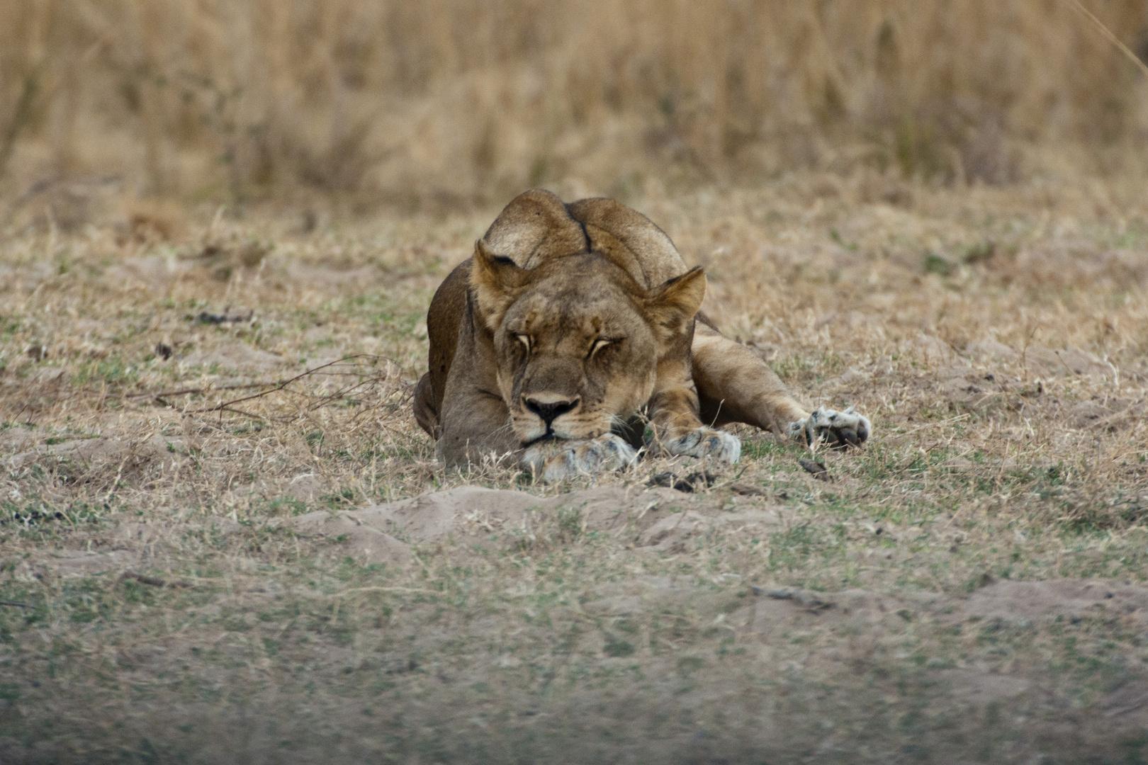 Bin ich müde - Löwin im South-Luangwa-NP / 18.06.2013