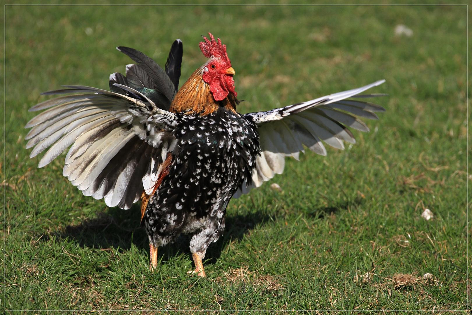 Bin ich nicht der schönste Hahn im ganzen Bayernland?