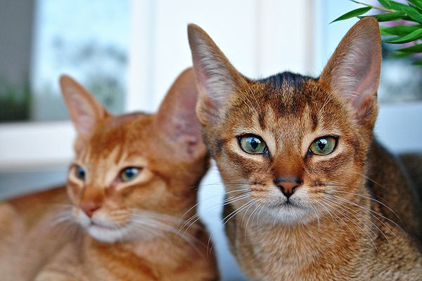 """Binah ( Front ) und Belay """"Abessinier-Katzen"""""""