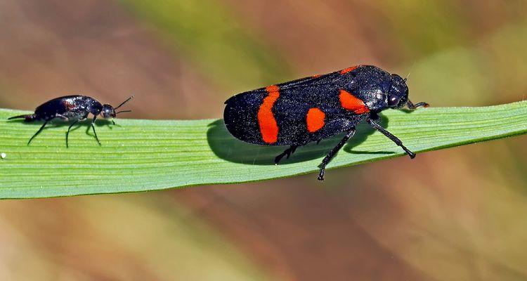 Binden-Blutzikade (Cercopis sanguinolenta) -  Le petit aimerait être aussi beau que le grand!
