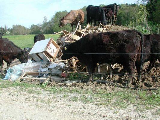 Bio-Kühe mit besonderer Milchleistung