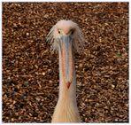 Biometrisches Passbild eines Rosa-Pelikan.....