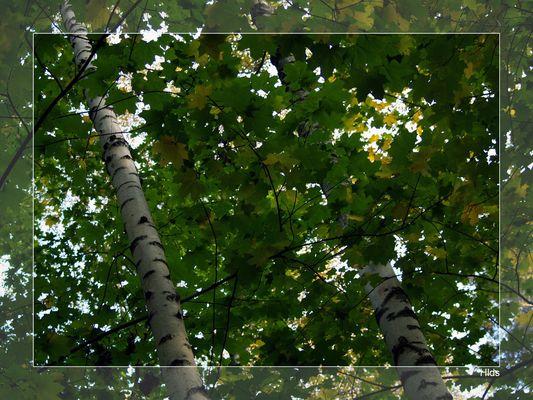 Birch Or Maple?
