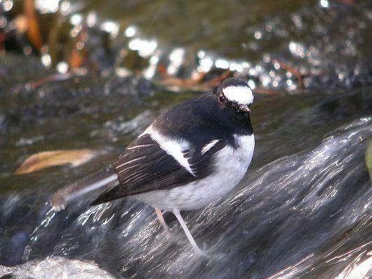 Bird in China, Latin name: Enicurus scouleri