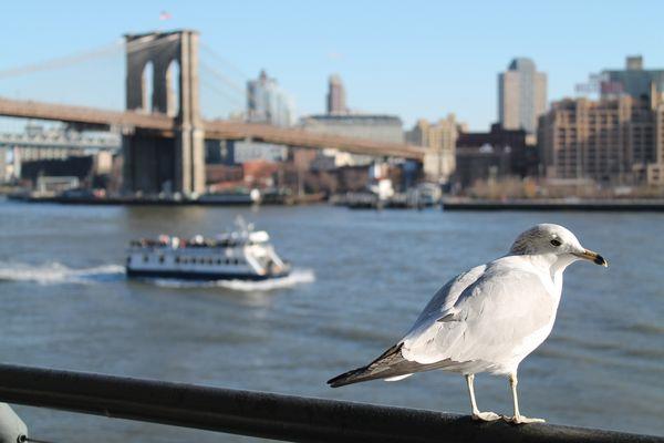 bird of ny