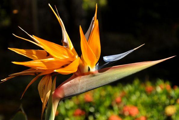 Bird-of-Paradise (Strelitzia reginae)