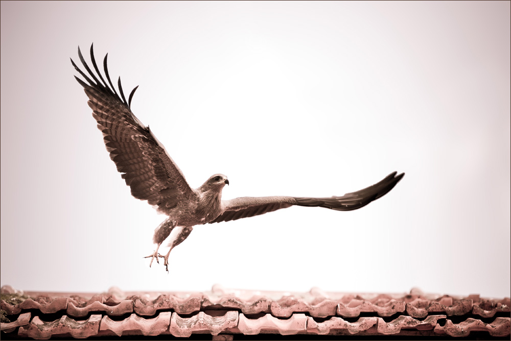 Bird of Prey at Pune Market Yard