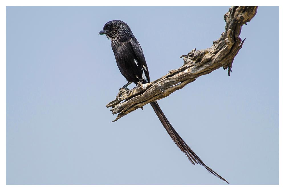 BIRDS OF AFRICA VIII