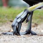Birdsfoot