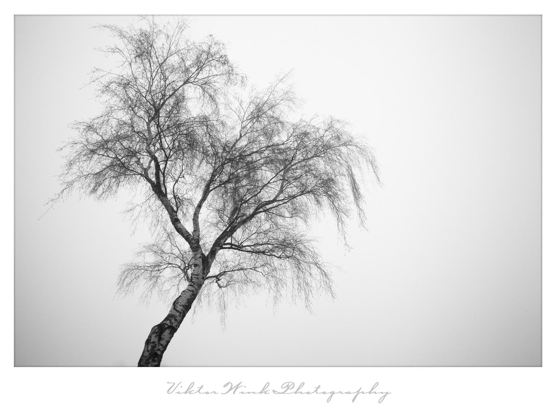Birke im Nebel