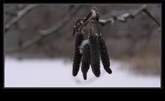 Birke im Schnee ~ Neujahrsspaziergang