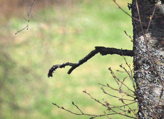 Birke im Winter, erstes Grün