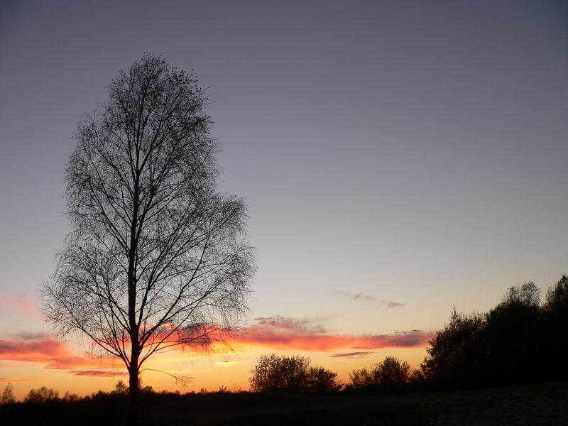 Birke in der Wahner-Heide