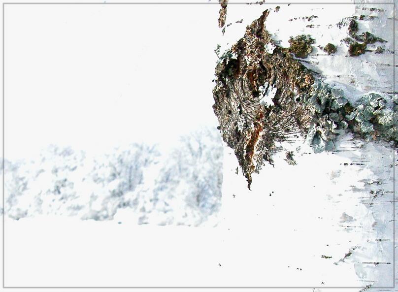Birke in Winterlandschaft
