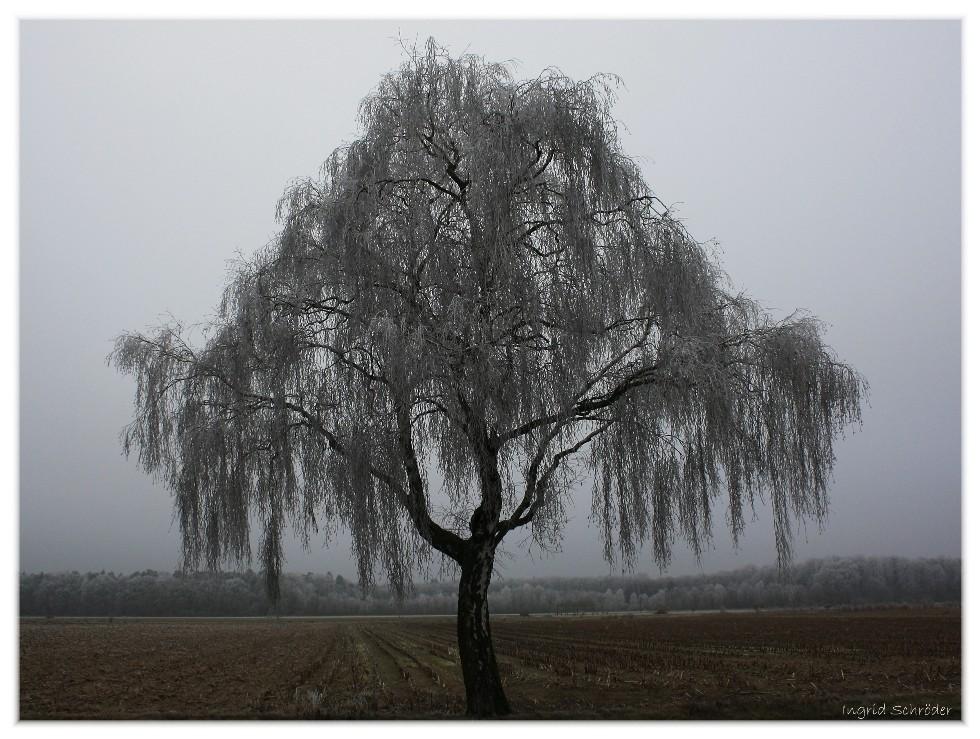 Birke mit Rauhreif im Nebel