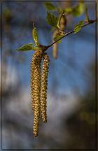 Birken-Blüte