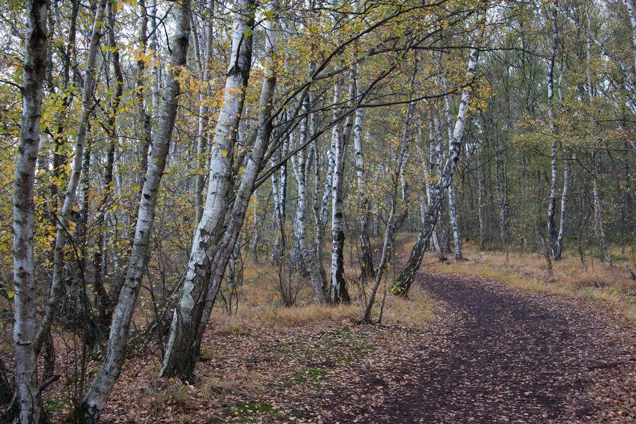 Birken im Großen Torfmoor