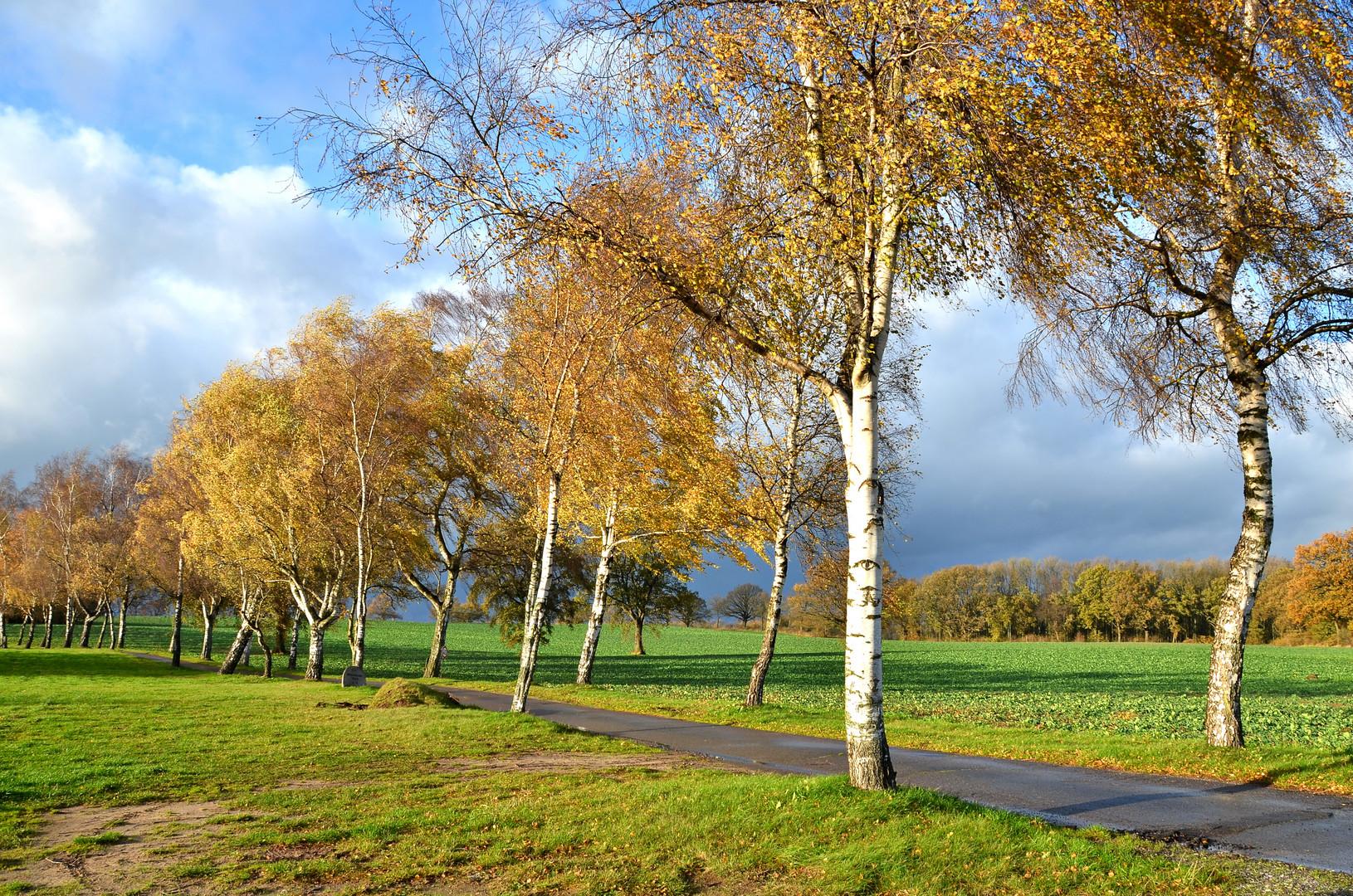 Birken im Herbst...