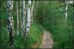 Birken im Hochmoor...