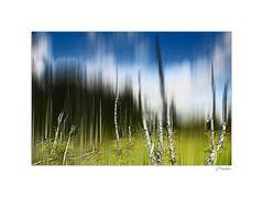 - Birken im Moor Hille -