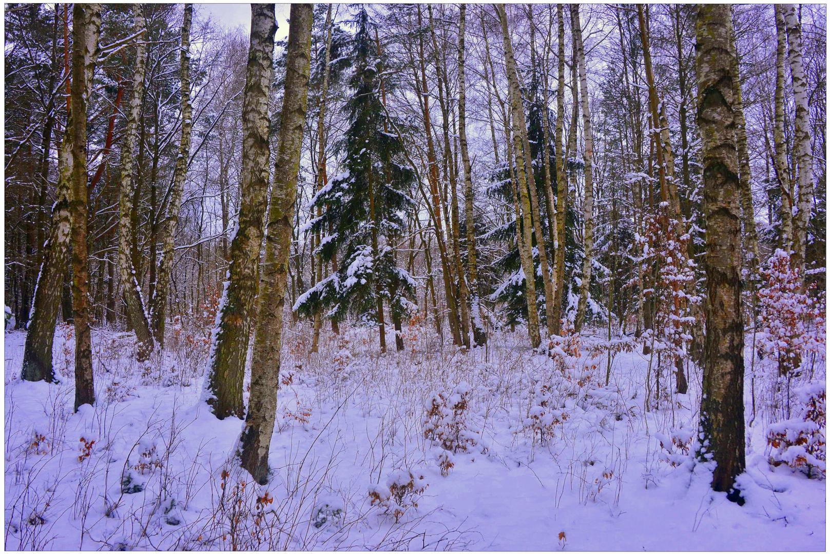 Birken im Schnee (abedules en la nieve)