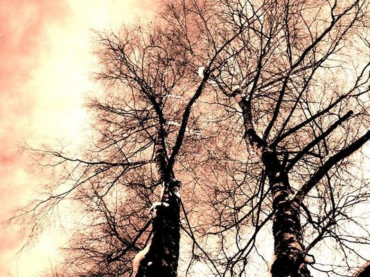 Birken im Winter...