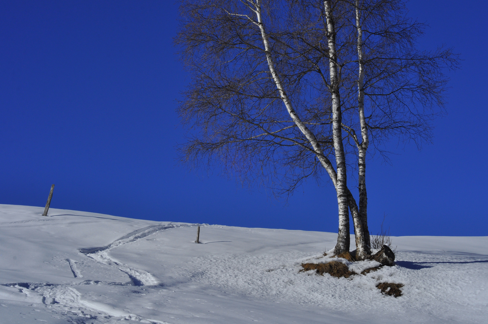 Birken im Wintertraum