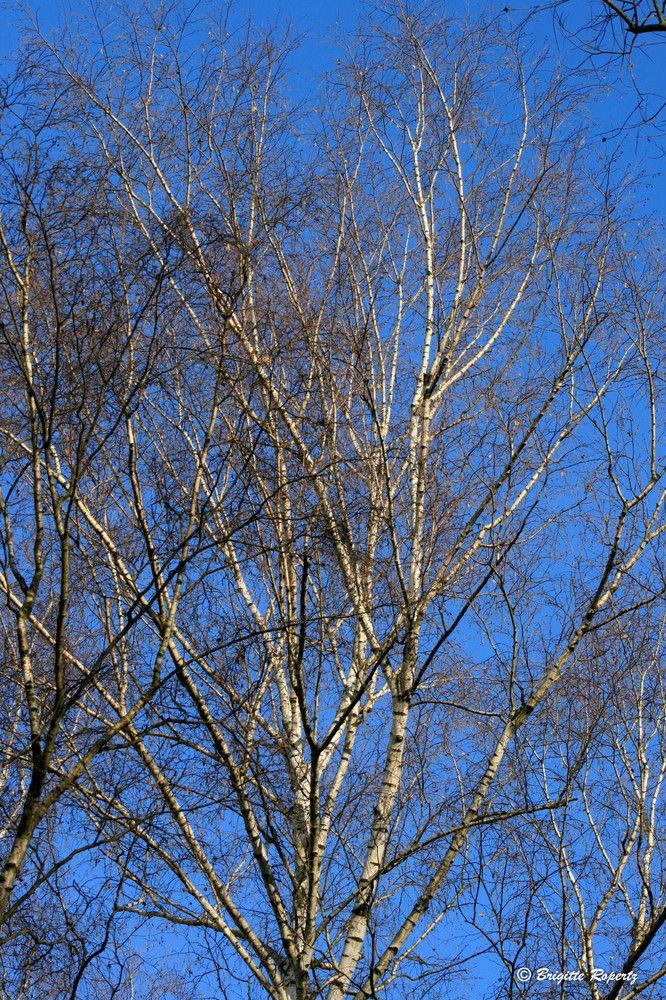 Birken vor blauem Himmel