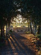 Birkenallee im Sonnenuntergang ...