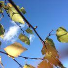 Birkenblätter im Herbstwind