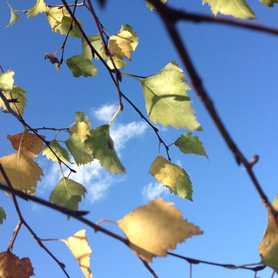Birkenblätter im Herbstwind 2