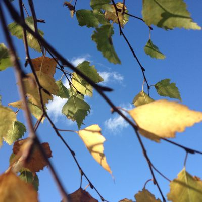 Birkenblätter im Herbstwind 3