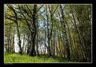 Birkenhain im Frühling