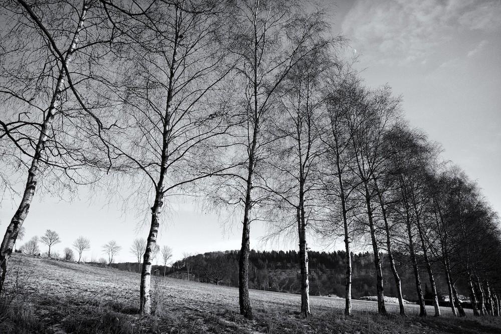 Birkenreihe
