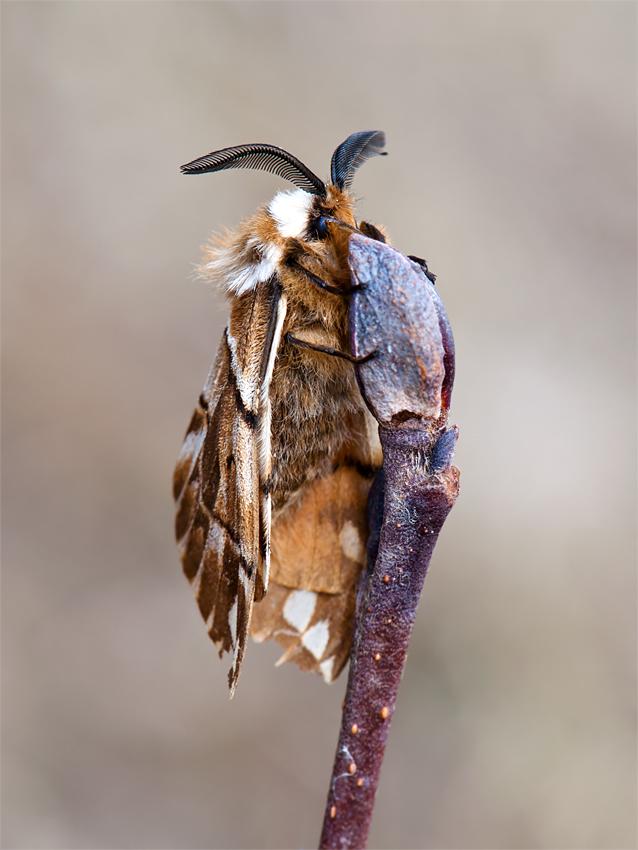 Birkenspinner - Männchen