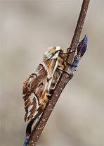 Birkenspinner - Weibchen