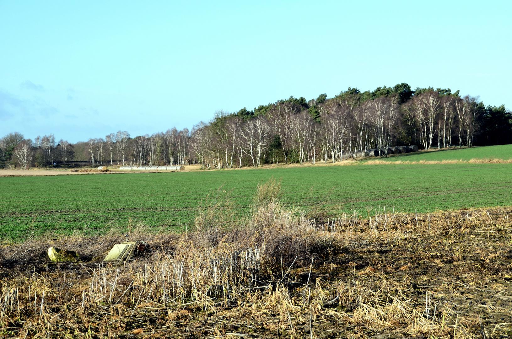 Birkenwäldchen am Feldrand
