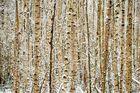 Birkenwäldchen im ersten Schnee