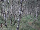 Birkenwäldchen nahe Fort Hahneberg