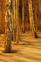 Birkenwald bei Nacht