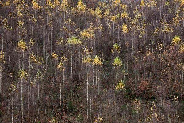 Birkenwald im Spätherbst