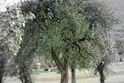 Birnbaum Alle