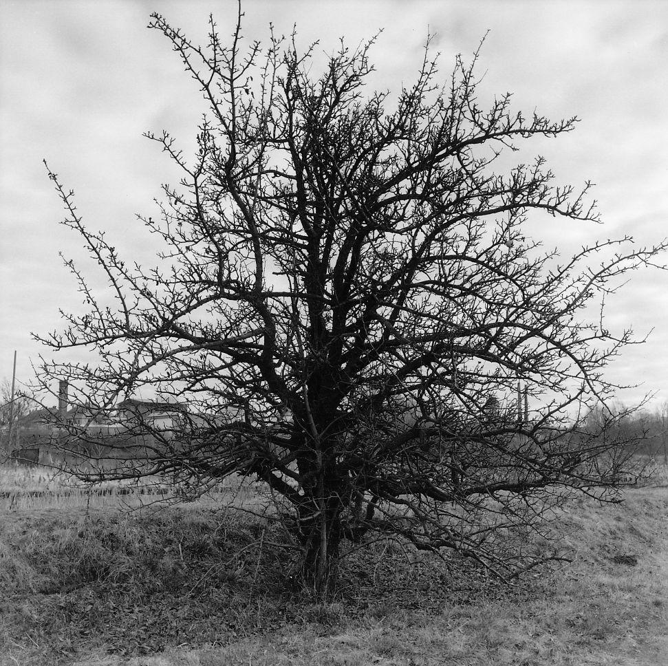Birnbaum einer Industriebrache